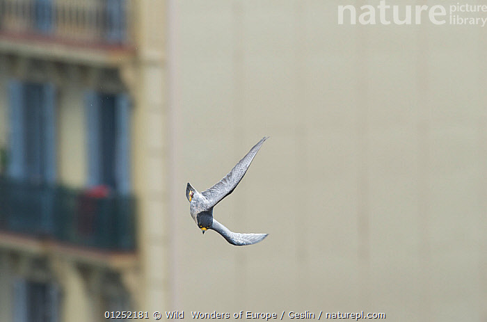 Peregrine falcon (Falco peregrinus) in flight, Barcelona, Spain, April  ,  BIRDS,BIRDS-OF-PREY,CITIES,EUROPE,FALCONS,FLYING,Laurent-Geslin,SPAIN,URBAN,VERTEBRATES,WWE,FALCO PEREGRINUS,,,  ,  Wild  Wonders of Europe / Geslin