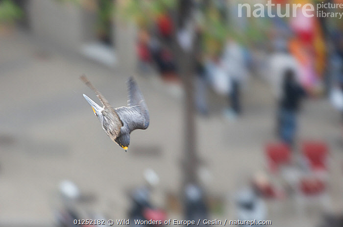 Peregrine falcon (Falco peregrinus) diving, Barcelona, Spain, April  ,  BIRDS,BIRDS-OF-PREY,CITIES,DIVING,EUROPE,FALCONS,FLYING,Laurent-Geslin,MOVEMENT,SPAIN,SPEED,URBAN,VERTEBRATES,WWE,FALCO PEREGRINUS,,,  ,  Wild  Wonders of Europe / Geslin