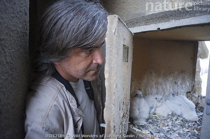 Peregrine falcon (Falco peregrinus) nest being checked, Sagrada familia, Barcelona, Spain, April 2009  ,  BABIES,BIRDS,BIRDS OF PREY,CHICKS,EUROPE,FALCONS,FLUFFY,LAURENT GESLIN,NESTS,PEOPLE,SCIENCE,SPAIN,URBAN,VERTEBRATES,WWE  ,  Wild Wonders of Europe / Geslin