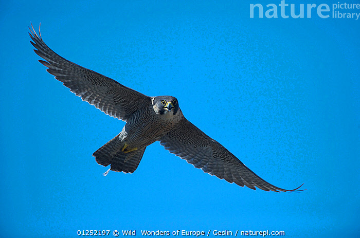 Peregrine falcon (Falco peregrinus) in flight, Barcelona, Spain, April  ,  BIRDS,BIRDS-OF-PREY,CUTOUT,EUROPE,FALCONS,FLYING,Laurent-Geslin,LOW-ANGLE-SHOT,SPAIN,URBAN,VERTEBRATES,WWE,FALCO PEREGRINUS,,,  ,  Wild  Wonders of Europe / Geslin