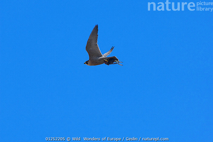 Peregrine falcon (Falco peregrinus) in flight carrying part of prey, Barcelona, Spain, April  ,  BIRDS,BIRDS-OF-PREY,CUTOUT,EUROPE,FALCONS,FLYING,Laurent-Geslin,LOW-ANGLE-SHOT,PREDATION,SPAIN,URBAN,VERTEBRATES,WWE,FALCO PEREGRINUS,,,  ,  Wild  Wonders of Europe / Geslin