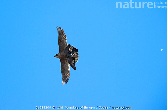 Peregrine falcon (Falco peregrinus) in flight carrying prey, Barcelona, Spain, April  ,  BIRDS,BIRDS-OF-PREY,CUTOUT,EUROPE,FALCONS,FLYING,Laurent-Geslin,LOW-ANGLE-SHOT,PREDATION,prey,SPAIN,URBAN,VERTEBRATES,WWE,FALCO PEREGRINUS,,,  ,  Wild  Wonders of Europe / Geslin