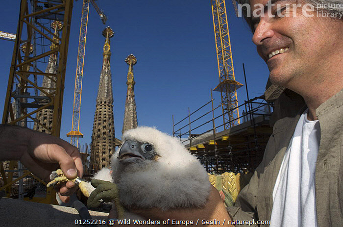 Peregrine falcon (Falco peregrinus) chick being ringed, Sagrada familia cathedral, Barcelona, Spain, April 2009  ,  ART,BABIES,BIRDS,BIRDS OF PREY,CATHEDRALS,CHICKS,CONSTRUCTION,EUROPE,FALCONS,FLUFFY,GAUDI,LAURENT GESLIN,PEOPLE,RINGED,SPAIN,TAGGED,TAGS,URBAN,VERTEBRATES,WWE  ,  Wild Wonders of Europe / Geslin