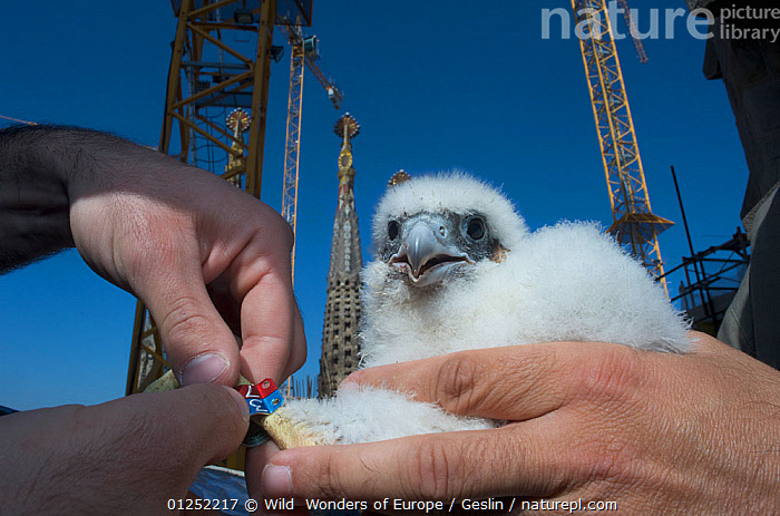 Peregrine falcon (Falco peregrinus) chick with two rings, Sagrada familia cathedral, Barcelona, Spain, April  ,  BABIES,BIRDS,BIRDS-OF-PREY,Cathedral,CHICKS,CONSTRUCTION,EUROPE,FALCONS,FLUFFY,Gaudi,HANDS,Laurent-Geslin,Ringed,SPAIN,tagged,Tags,URBAN,VERTEBRATES,WWE,FALCO PEREGRINUS,,,  ,  Wild  Wonders of Europe / Geslin