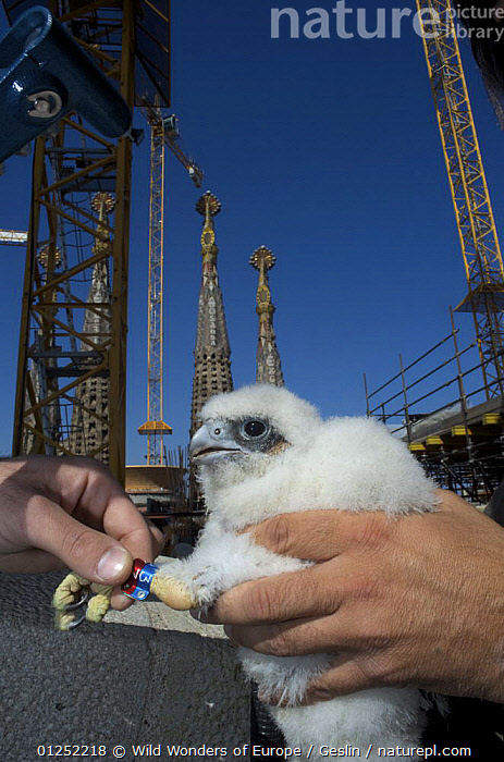 Peregrine falcon (Falco peregrinus) chick with new rings, Sagrada familia cathedral, Barcelona, Spain, April 2009  ,  BABIES,BIRDS,BIRDS OF PREY,CATHEDRALS,CHICKS,CONSTRUCTION,EUROPE,FALCONS,FLUFFY,GAUDI,HANDS,LAURENT GESLIN,PEOPLE,RINGED,SPAIN,TAGS,URBAN,VERTEBRATES,VERTICAL,WWE  ,  Wild Wonders of Europe / Geslin