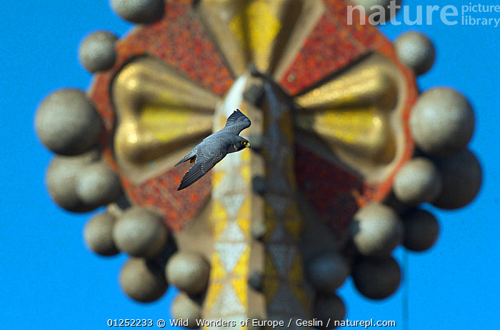Peregrine falcon (Falco peregrinus) flying past one of the Sagrada familia cathedral spires, Barcelona, Spain, April  ,  ART,BIRDS,BIRDS-OF-PREY,CATHEDRALS,EUROPE,FALCONS,FLYING,Gaudi,Laurent-Geslin,SPAIN,URBAN,VERTEBRATES,WWE,FALCO PEREGRINUS,,,  ,  Wild  Wonders of Europe / Geslin