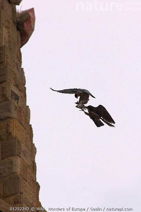 Silhouette of Peregrine falcon (Falco peregrinus) in flight, male passing pigeon prey to female for her to feed the chicks, Sagrada familia cathedral, Barcelona, Spain, April  ,  BEHAVIOUR,BIRDS,BIRDS-OF-PREY,book,CATHEDRALS,EUROPE,FALCONS,FLYING,Gaudi,Laurent-Geslin,PARENTAL-BEHAVIOUR,PREDATION,SILHOUETTES,SPAIN,URBAN,VERTEBRATES,VERTICAL,WWE,FALCO PEREGRINUS,,,  ,  Wild  Wonders of Europe / Geslin