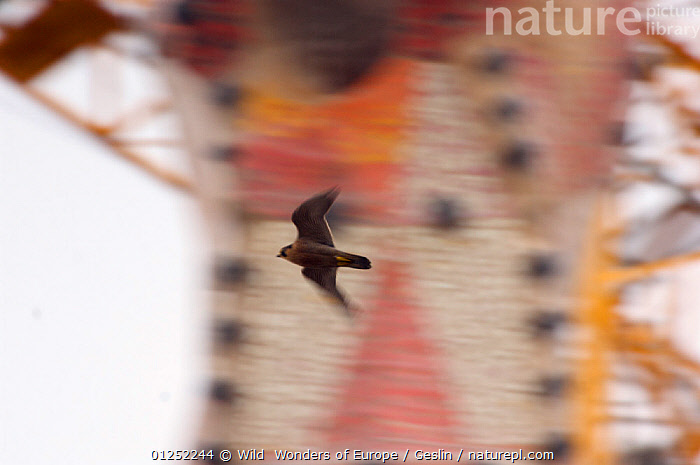 Peregrine falcon (Falco peregrinus) flying past a spire of the Sagrada familia cathedral and a crane, Barcelona, Spain, April  ,  ACTION,ART,BIRDS,BIRDS-OF-PREY,CATHEDRALS,CONSTRUCTION,EUROPE,FALCONS,FLYING,Gaudi,Laurent-Geslin,MOVEMENT,SPAIN,SPEED,URBAN,VERTEBRATES,WWE,FALCO PEREGRINUS,,,  ,  Wild  Wonders of Europe / Geslin