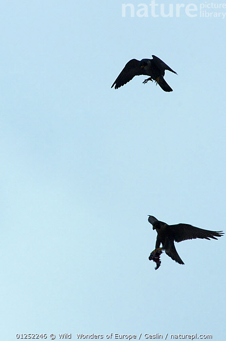 Silhouette of Peregrine falcon (Falco peregrinus) in flight, male passing pigeon prey to female for her to feed the chicks, Barcelona, Spain, April  ,  BIRDS,BIRDS-OF-PREY,book,CUTOUT,EUROPE,FALCONS,FLYING,INTERESTING,Laurent-Geslin,PARENTAL-BEHAVIOUR,PREDATION,SILHOUETTES,SPAIN,URBAN,VERTEBRATES,VERTICAL,WWE,FALCO PEREGRINUS,,,  ,  Wild  Wonders of Europe / Geslin