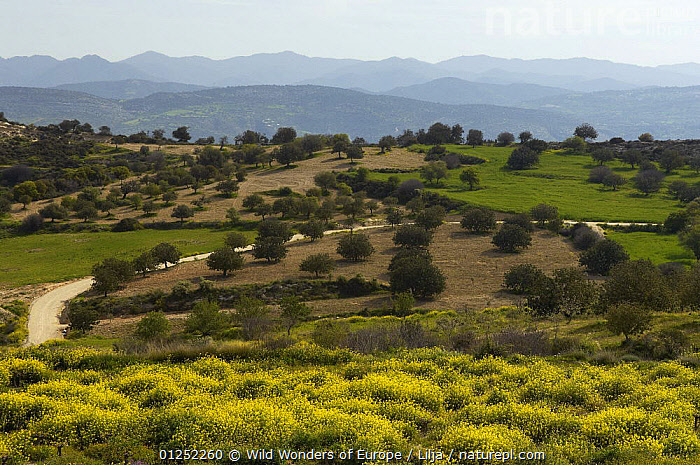Landscape with Olive groves, near Polis, Cyprus, April 2009  ,  CROPS,CYPRUS,EUROPE,FLOWERS,LANDSCAPES,MOUNTAINS,olives,Peter Lilja,TREES,WWE,PLANTS  ,  Wild Wonders of Europe / Lilja
