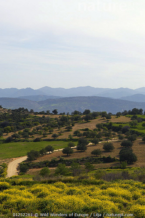 Landscape with Olive groves, near Polis, Cyprus, April 2009  ,  CROPS,CYPRUS,EUROPE,LANDSCAPES,MOUNTAINS,olives,Peter Lilja,TREES,VERTICAL,WWE,PLANTS  ,  Wild Wonders of Europe / Lilja