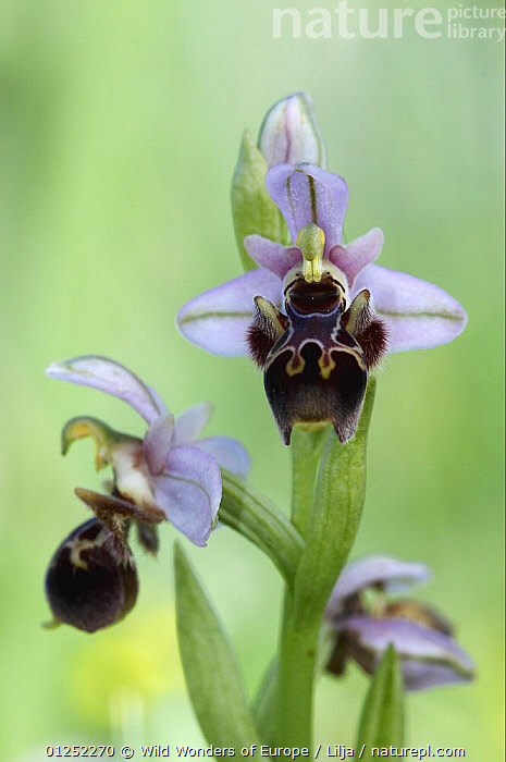 Bee orchid (Ophrys cornuta) in flower, Akamas peninsula, Cyprus, April 2009  ,  CYPRUS,EUROPE,FLOWERS,MONOCOTYLEDONS,ORCHIDACEAE,orchids,Peter Lilja,PLANTS,VERTICAL,WWE  ,  Wild Wonders of Europe / Lilja