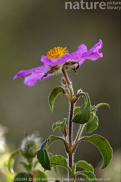 Pink rockrose (Cistus creticus) in flower, Akamas Peninsula, Cyprus, April 2009  ,  CISTACEAE,CYPRUS,DICOTYLEDONS,EUROPE,FLOWERS,Peter Lilja,PLANTS,PURPLE,VERTICAL,WWE  ,  Wild Wonders of Europe / Lilja