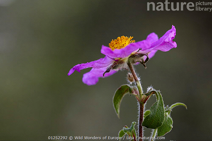 Pink rockrose (Cistus creticus) in flower, Akamas Peninsula, Cyprus, April 2009  ,  CISTACEAE,CYPRUS,DICOTYLEDONS,EUROPE,FLOWERS,Peter Lilja,PLANTS,PURPLE,WWE  ,  Wild Wonders of Europe / Lilja