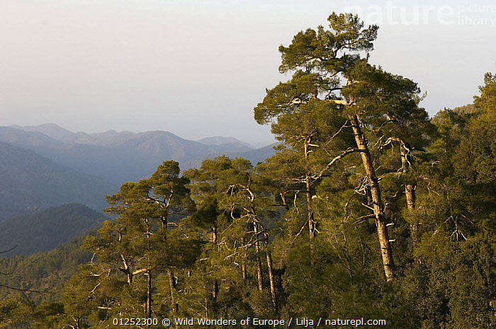 Pine forest in Troodos mountains, Cyprus, April 2009  ,  CONIFERS,CYPRUS,EUROPE,FORESTS,LANDSCAPES,MOUNTAINS,Peter Lilja,PINES,TREES,Trodos,WWE,PLANTS,TRODOS  ,  Wild Wonders of Europe / Lilja