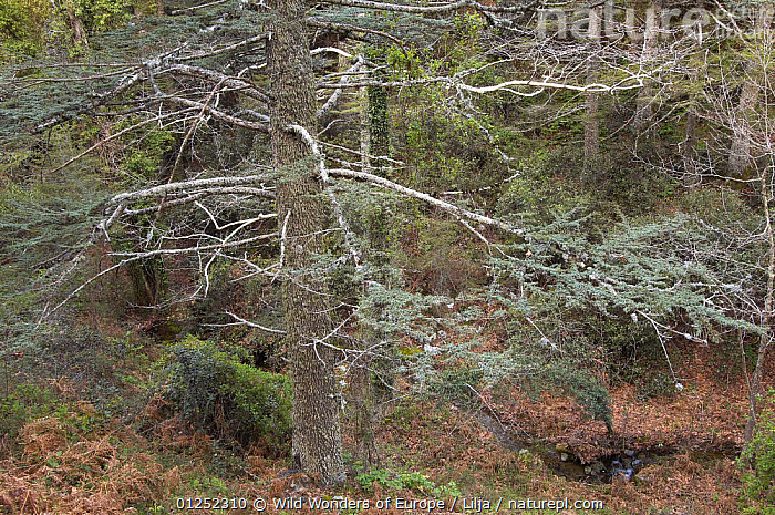 Cyprus cedar (Cedar libani) forest, Cedar valley, Troodos mountains, April 2009  ,  CONIFERS,CYPRUS,EUROPE,FORESTS,GYMNOSPERMS,HIGH ANGLE SHOT,LANDSCAPES,Peter Lilja,PINACEAE,PINES,PLANTS,STREAMS,TREES,WWE,TRODOS  ,  Wild Wonders of Europe / Lilja