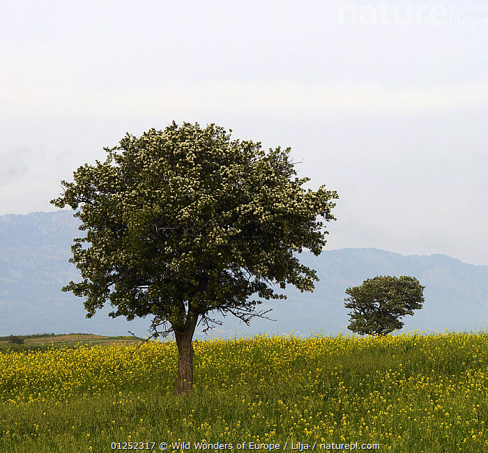 Trees in a meadow, Hisark�y, Northern Cyprus, April 2009  ,  CYPRUS,EUROPE,FLOWERS,LANDSCAPES,MEADOWLAND,Peter Lilja,TREES,WWE,YELLOW,Grassland,PLANTS  ,  Wild Wonders of Europe / Lilja