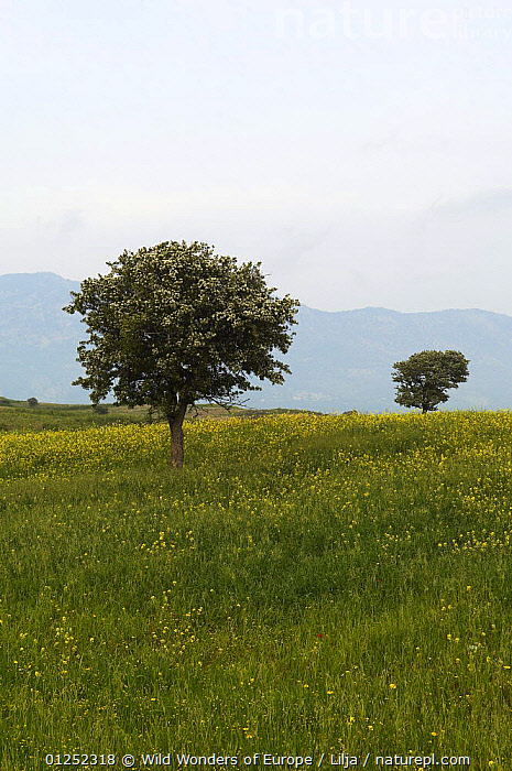 Trees in a meadow, Hisark�y, Northern Cyprus, April 2009  ,  CYPRUS,EUROPE,FLOWERS,LANDSCAPES,MEADOWLAND,Peter Lilja,TREES,VERTICAL,WWE,Grassland,PLANTS  ,  Wild Wonders of Europe / Lilja