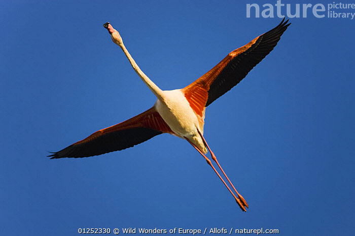 Greater flamingo (Phoenicopterus roseus) in flight, Camargue, France, April 2009  ,  BIRDS, CUTOUT, EUROPE, FLAMINGOS, FLYING, FRANCE, LOW-ANGLE-SHOT, Theo-Allofs, VERTEBRATES, WETLANDS, WWE  ,  Wild Wonders of Europe / Allofs