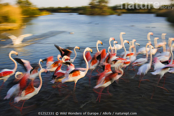 Greater flamingos (Phoenicopterus roseus) taking off from lagoon, Camargue, France, April 2009  ,  BIRDS, Blurred, EUROPE, FLAMINGOS, FRANCE, GROUPS, LANDSCAPES, MOVEMENT, TAKE-OFF, Theo-Allofs, VERTEBRATES, WETLANDS, WWE  ,  Wild Wonders of Europe / Allofs