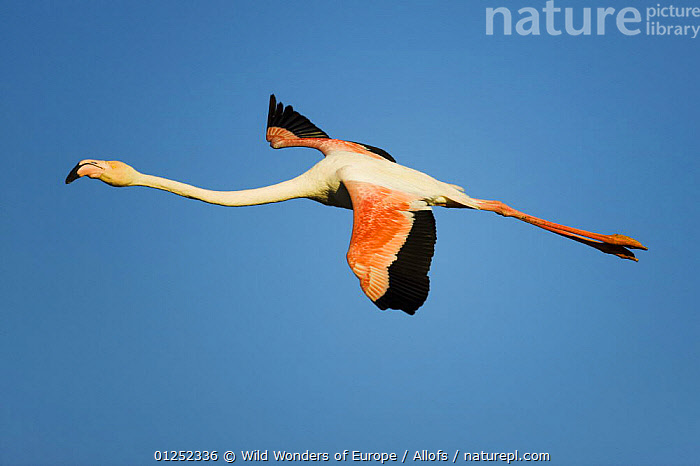 Greater flamingo (Phoenicopterus roseus) in flight, Camargue, France, April 2009  ,  BIRDS, CUTOUT, EUROPE, FLAMINGOS, FLYING, FRANCE, Theo-Allofs, VERTEBRATES, WETLANDS, WWE  ,  Wild Wonders of Europe / Allofs