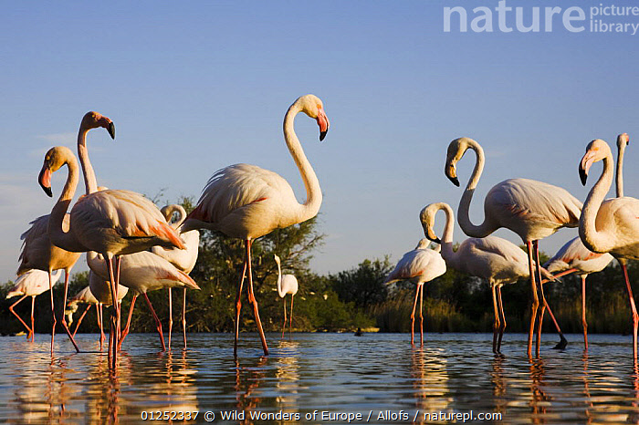 Greater flamingos (Phoenicopterus roseus) in lagoon, Camargue, France, April 2009  ,  BIRDS, EUROPE, FLAMINGOS, FRANCE, GROUPS, REFLECTIONS, Theo-Allofs, VERTEBRATES, WATER, WETLANDS, WWE  ,  Wild Wonders of Europe / Allofs
