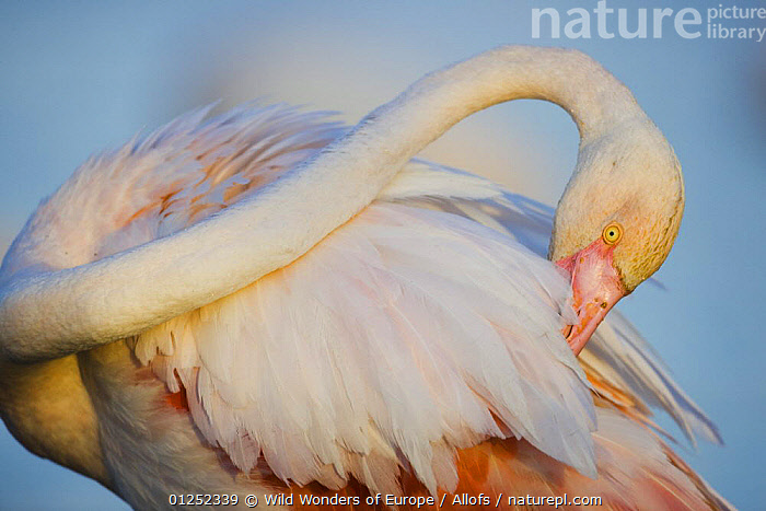 Greater flamingo (Phoenicopterus roseus) preening, Pont Du Gau, Camargue, France, April 2009  ,  BEHAVIOUR, BIRDS, EUROPE, FEATHERS, FLAMINGOS, FRANCE, GROOMING, Theo-Allofs, VERTEBRATES, WETLANDS, WWE  ,  Wild Wonders of Europe / Allofs