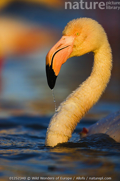 Greater flamingo (Phoenicopterus roseus) portrait, in lagoon, Pont Du Gau, Camargue, France, April 2009  ,  BATHING, BIRDS, EUROPE, FLAMINGOS, FRANCE, HEADS, PORTRAITS, Theo-Allofs, VERTEBRATES, VERTICAL, WATER, WETLANDS, WWE  ,  Wild Wonders of Europe / Allofs