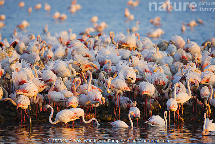Greater flamingos (Phoenicopterus roseus) part of breeding colony of approx 10,000 pairs, Camargue, France, April 2009  ,  BIRDS, EUROPE, FLAMINGOS, FRANCE, GROUPS, Theo-Allofs, VERTEBRATES, WATER, WETLANDS, WWE  ,  Wild Wonders of Europe / Allofs