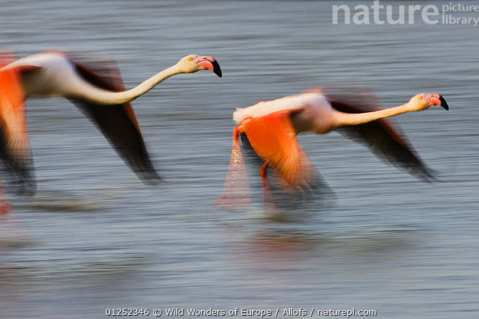 Two Greater flamingos (Phoenicopterus roseus) flying over lagoon, Camargue, France, April 2009  ,  BIRDS, EUROPE, FLAMINGOS, FLYING, FRANCE, MOVEMENT, Theo-Allofs, VERTEBRATES, WETLANDS, WWE  ,  Wild Wonders of Europe / Allofs