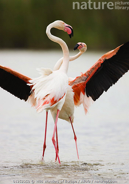 Two Greater flamingos (Phoenicopterus roseus) fighting, Pont du Gau, Camargue, France, April 2009  ,  BEHAVIOUR, BIRDS, EUROPE, FIGHTING, FLAMINGOS, FRANCE, Theo-Allofs, VERTEBRATES, VERTICAL, WETLANDS, WINGS, WWE,Aggression  ,  Wild Wonders of Europe / Allofs