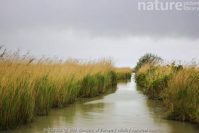 "Canal with tall reed grass at lagoon ""Etang du Vaccares"", Camargue, France, April 2009  ,  EUROPE,FRANCE,LANDSCAPES,reeds,Theo Allofs,WATER,WETLANDS,WWE  ,  Wild Wonders of Europe / Allofs"