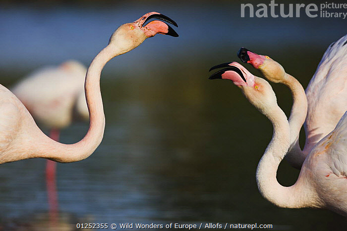 Greater flamingos (Phoenicopterus roseus) fighting, Pont du Gau, Camargue, France, April 2009  ,  BEHAVIOUR, BIRDS, EUROPE, FIGHTING, FLAMINGOS, FRANCE, Theo-Allofs, THREE, VERTEBRATES, WETLANDS, WWE,Aggression  ,  Wild Wonders of Europe / Allofs