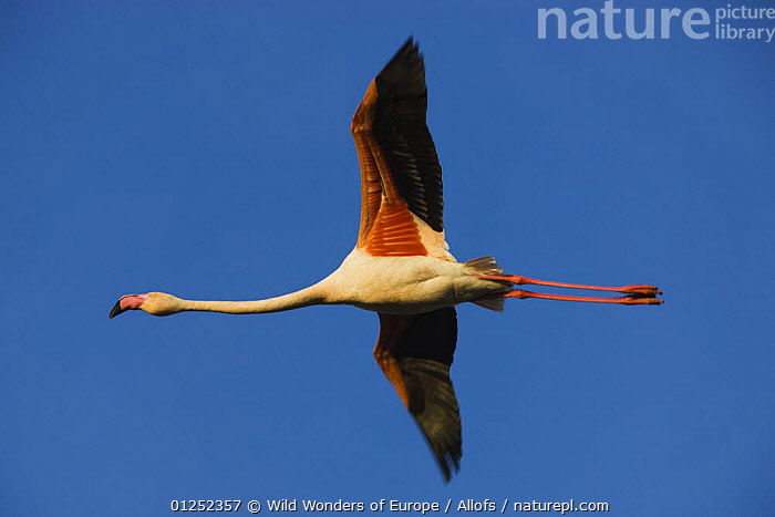 Greater flamingo (Phoenicopterus roseus) in flight, Camargue, France, April 2009  ,  BIRDS, CUTOUT, EUROPE, FLAMINGOS, FLYING, FRANCE, LOW-ANGLE-SHOT, Theo-Allofs, VERTEBRATES, WETLANDS, WINGS, WWE  ,  Wild Wonders of Europe / Allofs