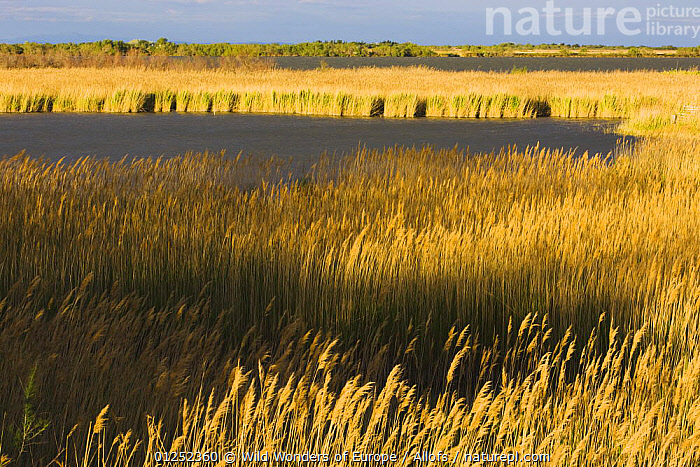 Lagoon with reeds near Stes Maries de la Mer, Camargue, France, April 2009  ,  EUROPE,FRANCE,lagoons,LAKES,LANDSCAPES,reeds,Theo Allofs,WETLANDS,WWE  ,  Wild Wonders of Europe / Allofs