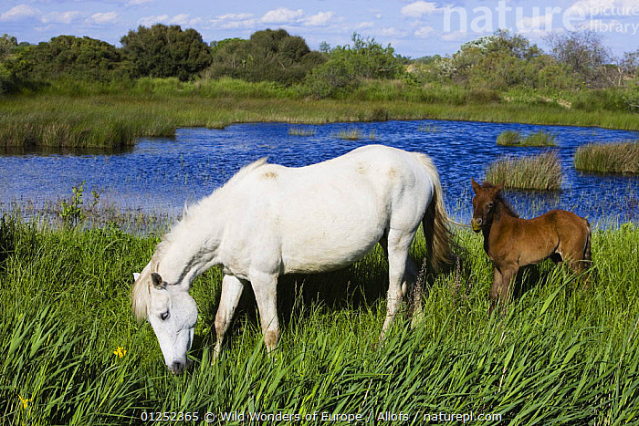 White Camargue horse, mare with brown foal, Camargue, France, April 2009  ,  BABIES,EUROPE,FEEDING,Foals,FRANCE,HORSES,LAKES,LANDSCAPES,MAMMALS,MOTHER BABY,PERISSODACTYLA,Theo Allofs,VERTEBRATES,WETLANDS,WWE,Equines  ,  Wild Wonders of Europe / Allofs