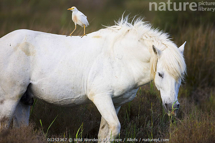 White Camargue horse stallion with a Cattle egret (Bulbulcus ibis) on his back, Camargue, France, April 2009  ,  BIRDS,EUROPE,FRANCE,HERONS,HORSES,MALES,MAMMALS,MIXED SPECIES,PERISSODACTYLA,Theo Allofs,VERTEBRATES,WETLANDS,WWE,Equines  ,  Wild Wonders of Europe / Allofs