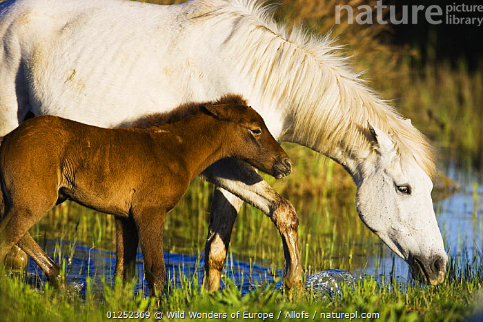 White Camargue horse, mother with brown foal, Camargue, France, April 2009  ,  BABIES,EUROPE,Foals,FRANCE,HORSES,JUVENILE,MAMMALS,MOTHER BABY,PERISSODACTYLA,Theo Allofs,VERTEBRATES,WETLANDS,WWE,Equines  ,  Wild Wonders of Europe / Allofs