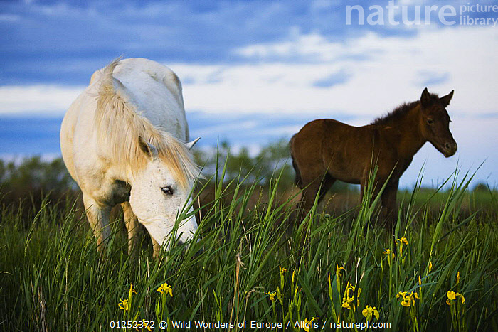 White Camargue horse, mare feeding on grass, with foal, Camargue, France, April 2009  ,  BABIES,EUROPE,FEEDING,FLOWERS,Foals,FRANCE,HORSES,MAMMALS,PERISSODACTYLA,Theo Allofs,VERTEBRATES,WETLANDS,WWE,Equines  ,  Wild Wonders of Europe / Allofs