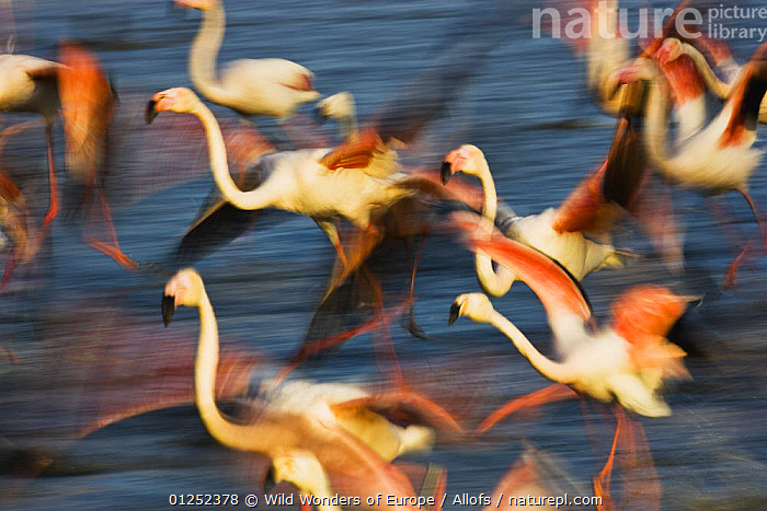 Greater flamingos (Phoenicopterus roseus) taking off from lagoon, Camargue, France, May 2009  ,  ACTION, ARTY-SHOTS, BIRDS, EUROPE, FLAMINGOS, FLYING, FRANCE, GROUPS, MOVEMENT, RUNNING, TAKE-OFF, Theo-Allofs, VERTEBRATES, WETLANDS, WWE  ,  Wild Wonders of Europe / Allofs