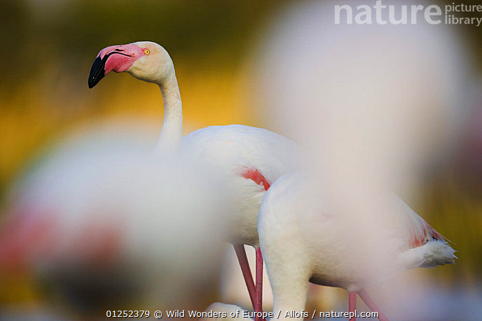 Greater flamingos (Phoenicopterus roseus) in lagoon, Pont Du Gau, Camargue, France, May 2009  ,  BIRDS, EUROPE, FLAMINGOS, FRANCE, Theo-Allofs, VERTEBRATES, WETLANDS, WWE  ,  Wild Wonders of Europe / Allofs