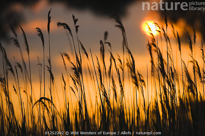 Lagoon with silhouette of reeds at sunset, Camargue, France, May 2009  ,  ARTY SHOTS,EUROPE,FRANCE,LANDSCAPES,ORANGE,reeds,SILHOUETTES,SUNSET,Theo Allofs,WATER,WETLANDS,WWE  ,  Wild Wonders of Europe / Allofs