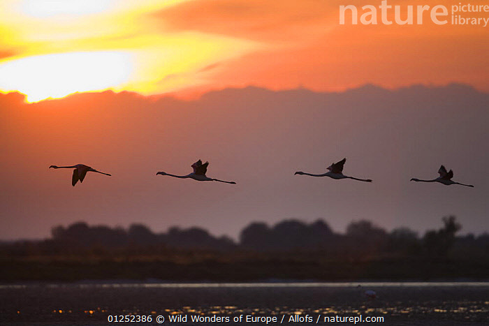 Greater flamingos (Phoenicopterus roseus) in flight, silhouetted against sky at sunrise, Camargue, France, May 2009  ,  BIRDS, CLOUDS, EUROPE, FLAMINGOS, FLYING, FOUR, FRANCE, GROUPS, LANDSCAPES, ORANGE, SILHOUETTES, SUNRISE, Theo-Allofs, VERTEBRATES, WETLANDS, WWE,Weather  ,  Wild Wonders of Europe / Allofs