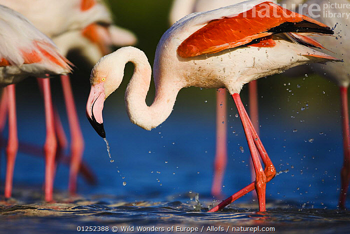 Greater flamingo (Phoenicopterus roseus) bathing in lagoon, Pont Du Gau, Camargue, France, May 2009  ,  BATHING, BEHAVIOUR, BIRDS, EUROPE, FLAMINGOS, FRANCE, Theo-Allofs, VERTEBRATES, WATER, WETLANDS, WWE  ,  Wild Wonders of Europe / Allofs