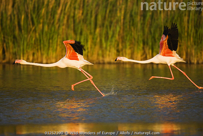 Two Greater flamingos (Phoenicopterus roseus) taking off from lagoon, Camargue, France, May 2009  ,  BIRDS, EUROPE, FLAMINGOS, FRANCE, PROFILE, RUNNING, TAKE-OFF, Theo-Allofs, VERTEBRATES, WATER, WETLANDS, WWE  ,  Wild Wonders of Europe / Allofs