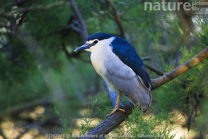 Black-crowned night heron (Nycticorax nycticorax) on branch, Camargue, France, May 2009  ,  BIRDS,EUROPE,FRANCE,HERONS,Theo Allofs,VERTEBRATES,WETLANDS,WWE  ,  Wild Wonders of Europe / Allofs