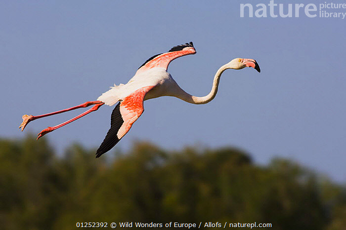 Greater flamingo (Phoenicopterus roseus) in flight, Camargue, France, May 2009  ,  BIRDS, EUROPE, FLAMINGOS, FLYING, FRANCE, Theo-Allofs, VERTEBRATES, WETLANDS, WINGS, WWE  ,  Wild Wonders of Europe / Allofs