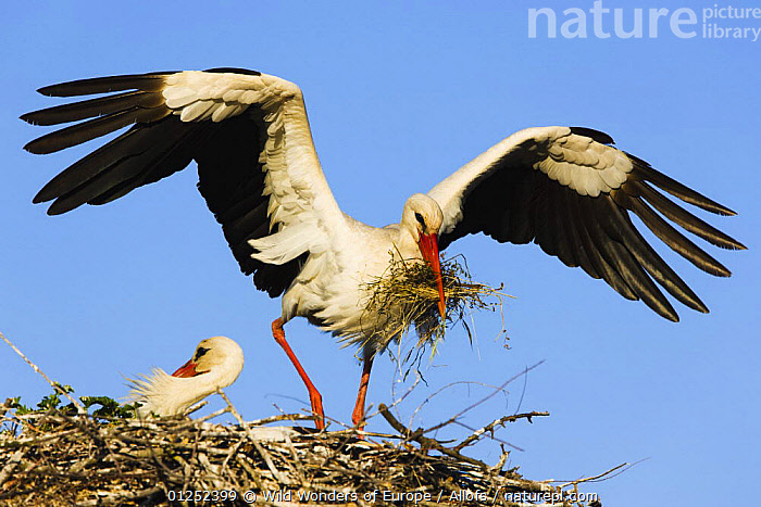 White stork (Ciconia Ciconia) landing on nest with building material, Pont du Gau, Camargue, France, May 2009  ,  BEHAVIOUR,BIRDS,EUROPE,FRANCE,LANDING,MALE FEMALE PAIR,nesting behaviour,NESTS,STORKS,Theo Allofs,VERTEBRATES,WETLANDS,WINGS,WWE  ,  Wild Wonders of Europe / Allofs