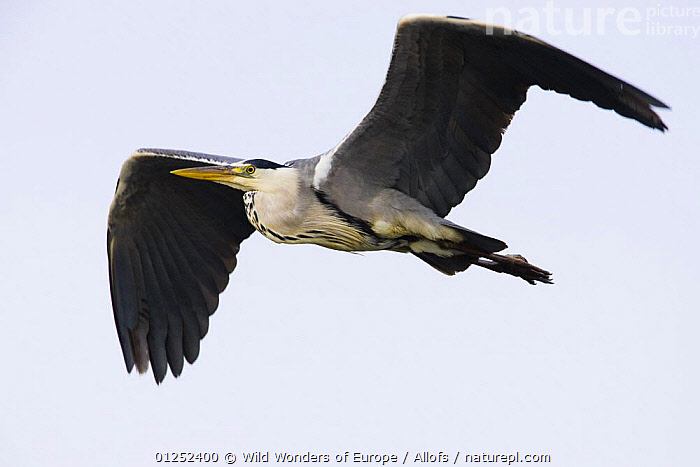 Grey heron (Ardea cinerea) in flight, Pont du Gau, Camargue, France, May 2009  ,  BIRDS,CUTOUT,EUROPE,FLYING,FRANCE,HERONS,Theo Allofs,VERTEBRATES,WETLANDS,WWE  ,  Wild Wonders of Europe / Allofs