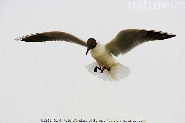 Black-headed gull (Chroicocephalus ridibundus) in flight, Camargue, France, May 2009  ,  BIRDS, CUTOUT, EUROPE, FLYING, FRANCE, GULLS, SEABIRDS, Theo-Allofs, VERTEBRATES, WETLANDS, WWE  ,  Wild Wonders of Europe / Allofs
